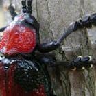 Brazilian Red Leaf Beetle
