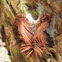 Shaving brush fungus