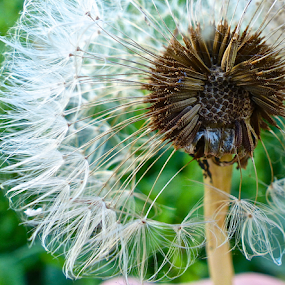 by Laura Payne - Nature Up Close Other plants ( plant, held, ball, wood, centre, clock, seed, weed, shuttle, cushion, web, gone, float, close, reproduce, dandelion, cloud, core, stem )