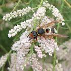 Mason wasp (female)