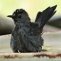 Gray catbird, bathing