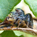 Jumpingspider eating a treehopper