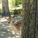 Femail Deer