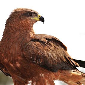 Indian Kite by Chhaditya Parikh - Animals Birds