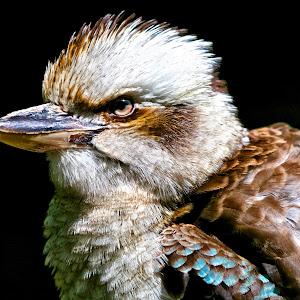 Kookaburra bird .jpg
