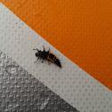 Harlequin Ladybird Beetle larva