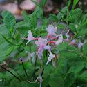 Pinksterbloom azalea