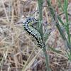 Cucullia Caterpillars