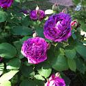 Reines de violet rose