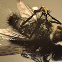 Fly corpse