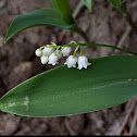 European lily of the valley