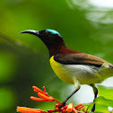 The Purple-rumped Sunbird