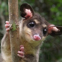Southeastern Four-eyed Opossum