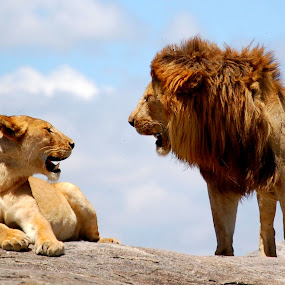 Lions Converse by DJ Cockburn - Animals Lions, Tigers & Big Cats ( savannah, grassland, skyline, panthera leo, pair, serengeti, plains, couple, lions, tanzania, africa,  )