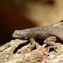 Granite Spiny Lizard