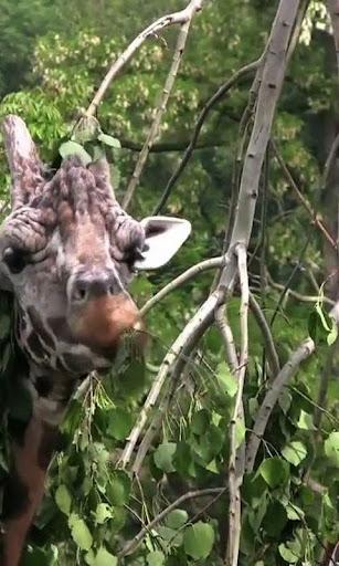 Giraffe live wallpaper