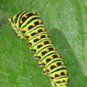 Swallowtail catarpillar