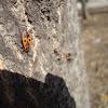 Firebug / Vatrene stjenice