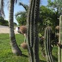 Kuluub, pitayo, cactus