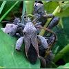 Sweet Potato Bugs