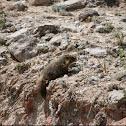Yellow-bellied marmot, rock chuck
