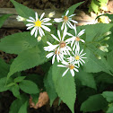 Forked Aster