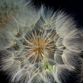 Goat's Beard by George Kremer - Nature Up Close Other plants ( light painting, details, still life, goat's beard, light, flower, blossom, close-up )