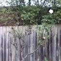 White Rose Tree