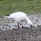 Ross's Snow Goose