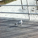 Common sea gull