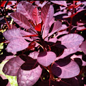 Caribbean Copper Plant?
