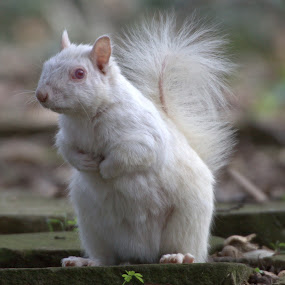 Albino Squirrel. by Mark Milham - Animals Other Mammals ( thanet, margate, albino, albino squirrel, squirrel )