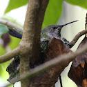 Anna's Hummingbird - Female Incubating Eggs