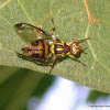 Fruit fly -