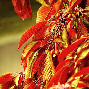 Red Cherry Tree in the Glow of Maturation by Nat Bolfan-Stosic - Nature Up Close Trees & Bushes ( cherry, red, tree, glow )