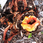 Red columned stinkhorns