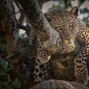 leopard-nice nap.jpg