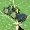 Orange-spotted shield bugs