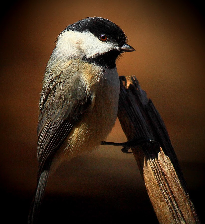 Black Capped Chickadee by Paul Mays - Animals Birds