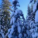 Sub alpine fir