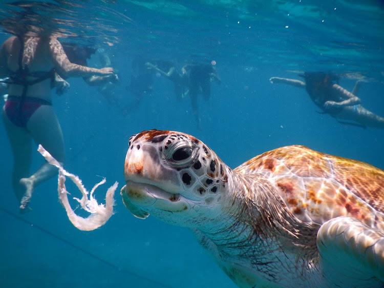 A sea turtle swims off the coast of Barbados.