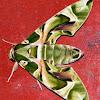 Oleander Hawk-moth/Army Green Moth