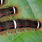 Euglyphis caterpillars