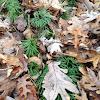 Southern Ground Cedar