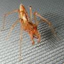 Sac Spider