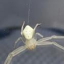 Golden rod crab spider