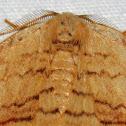 Spanworm Moth (?)