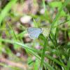 Tiny Grass Blue
