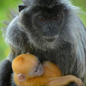 The Real Super Saiyans by Muhammad Fairuz Samsubaha - Animals Other Mammals ( mammals, dragonball, mother, saiyans, infant, gold, golden, photography, monkey )