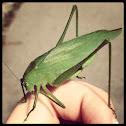 Round-headed katydid (female)